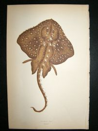 Couch: 1867 Antique Fish Print. Starry Ray